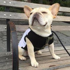 'Theo' the French Bulldog