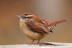 This is another one of my favorite birds, the Wren.  We have gotten a nice population of them here in the past 2 years and have had two nests of them in our garage.