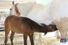 Pela Feira Nacional de Agricultura/Feira do Ribatejo passam anualmente alguns dos mais premiados e apurados exemplares das diferentes raças de bovinos e equinos de todo o país.