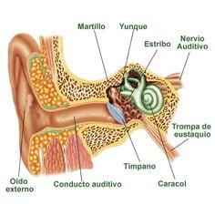 Imágenes del oído con sus partes y sus nombres | todo en imágenes Human Anatomy, Study, Baby Shower, Education, Science, Icons, Google, Medicine, Babyshower
