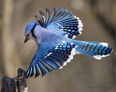 I once was lucky enough to inspect a blue jay feather close up. I was amazed to see that the feathers have both horizontal and vertical striping on one feather! They are amazingly detailed. -ejw