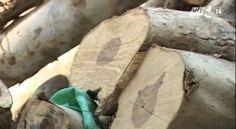 VTC14_Báo động tình trạng buôn bán gỗ trắc lậu tại Khánh Hòa Texture, Wood, Crafts, Manualidades, Woodwind Instrument, Timber Wood, Trees, Home Decor Trees, Craft
