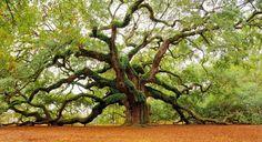 Les arbres les plus beaux du Monde - Chaine Ange - Caroline du Sud