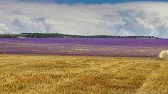 лавандовое поле серое небо - Поиск в Google
