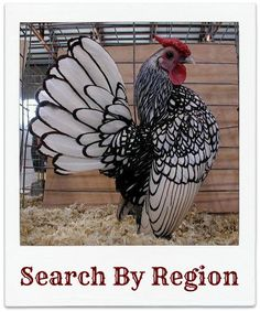 Show Chickens - Saferbrowser Yahoo Image Search Results Bantam Chickens, Chickens And Roosters, Pet Chickens, Raising Chickens, Keeping Chickens, Java Chicken, Chicken Art, Fancy Chickens, Chickens Backyard