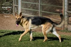 #ARIZONA #URGENT ~  #ADOPTERS or #RESCUERS needed! Fedwell Farms in #Scottsdale, a rescue that has saved many from the E-list, is having to close. They are losing their property on 11-25-13 -- Emmy is arrived w/her brother Wolfy & is young #purebred German Shepherd dog GSD  -- Please Text or call RJ at Pet Allies who's helping coordinate 928 243 0695