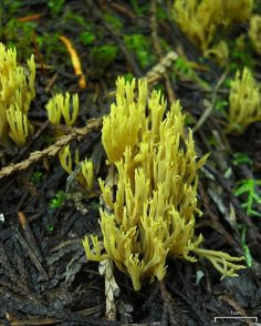* Golden Coral Fungus ~by Pellaea *