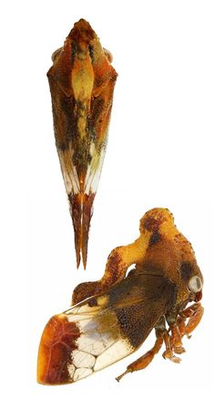Lycoderes sp. (from insects of Guyana)
