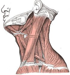 IV. Myology. 5b. The Lateral Cervical Muscles. Gray, Henry. 1918. Anatomy of the Human Body.