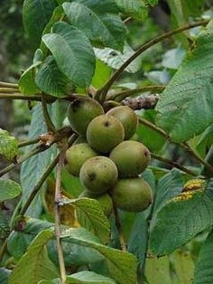 Juglans cathayensis Chinese Walnut-edible -3, medicinal -0, sweetmeats, good flavour but the shell is very thick and the seed is small. Edible oil tends to go rancid quickly.