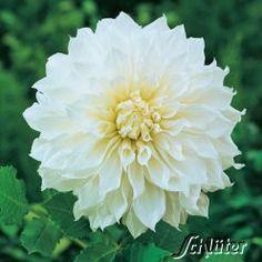 gekauft ! Großblumige Dahlie 'Fleurel' - 1 Stück