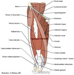 Muscular system - Human body : Anterior compartment of thigh - Human anatomy :Iliacus Psoas major Tensor of fascia lata Sartoriu. Leg Muscles Anatomy, Thigh Muscles, Muscle Anatomy, Body Anatomy, Human Anatomy, Fascia Lata, Psoas Release, Muscle Structure, Thighs