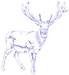 how to draw a white tailed deer step by step