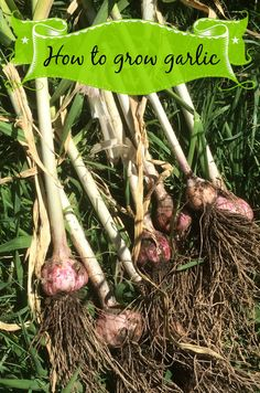 Plant, Grow, and Harvest Garlic Long Term Food Storage, Homestead Gardens, Bountiful Harvest, Natural Garden, Grow Your Own Food, Gardening Tips, Vegetable Gardening, Fresh Vegetables, Lemon Grass