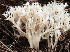 Fichas Micológicas » Clavulina cristata