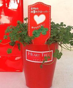 あなたのところへ 【 幸せの 四つ葉のクローバー 】 お届けします 本物の 四つ葉の クローバー 鉢植えです【RCP】