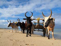 zebus sur la plage hotel IKOTEL Ifaty Mangily MADAGASCAR www.ikotel-tulear.com