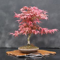 What is the best indoor bonsai tree for beginners?