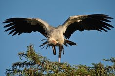 Secretary Bird - Serengeti, Tanzania