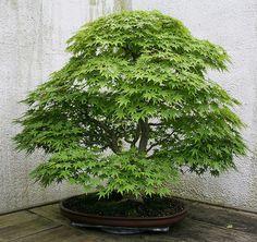 Japanese Maple (Acer palmatum)   Flickr - Photo Sharing!