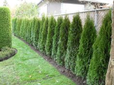 cedar hedge fence - for the chain link fence in our yard. Privacy Plants, Backyard Privacy, Backyard Fences, Privacy Hedge, Privacy Trees, Fence Plants, Fence Garden, Hedges Landscaping, Backyard Landscaping