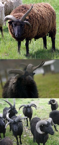 Hebridean sheep are an ancient Scottish breed known for being polycerate, or having multiple horns.  They can have as many as eight, or occasionally none.  Nearly extinct by the early 1970's, the breed has been revived and is no longer considered at risk of dying out.  #nature #myt
