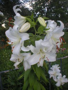 White Day Lily's