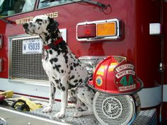 The dalmatian is symbolic in fire fighting today, but in the past their job was to keep the wild dogs away from the horses which pulled the fire trucks. Baby Dogs, Dogs And Puppies, Doggies, Dogs With Jobs, Dalmatian Dogs, Pet Breeds, Wild Dogs, Fire Department, Fire Dept