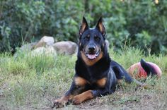 beauceron, bas rouge, berger de beauce, french shepherd