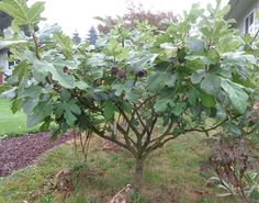 List of Uncommon Cold Hardy Fruit Trees (Gardening Zones 3-7) - Hardy Chicago Fig NEED THIS!!!