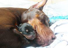 Doberman Java & puppies (Day by happydobermans Beautiful Dogs, Animals Beautiful, Cute Animals, Baby Animals, Cute Puppies, Cute Dogs, Dogs And Puppies, Weimaraner, Rottweiler