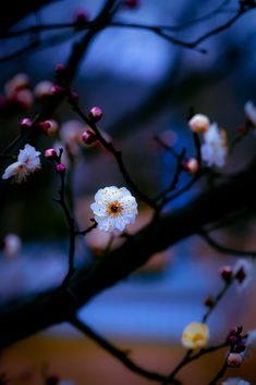 My Pictures — angelica-tenshi: 梅花 by 暮雨 Flower Iphone Wallpaper, Cute Wallpaper Backgrounds, Nature Wallpaper, Beautiful Flowers Wallpapers, Pretty Wallpapers, Beautiful Images, Wonderful Flowers, Pretty Flowers, Flowers Nature