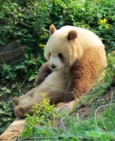The Qinling Panda is a Subspecies of the Giant Panda. It is lighter and mere brown than a normal Giant Panda. About 200 - 300 Qinling Pandas lives in nature.