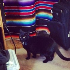 DHC's cat Cosita reacts to Waa pedal sound check at today's #concertwindow webcast. http://dhc-tv.com