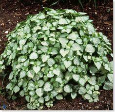 lave bunddækkeplanter
