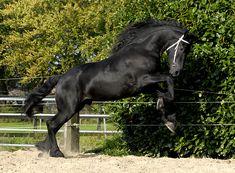 Friesian Stallion in Holland