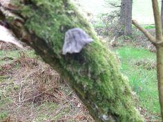 Purple Jew's Ear fungus on mossy branch