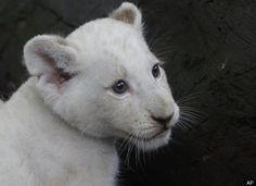 Sweet face - White lion cub