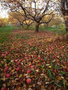 Apple Orchard Repinned by www.loisjoyhofmann.com