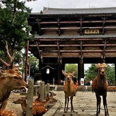 Ciervos vs. Puertas #deer #gate #todaiji #nara #japan