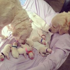 English Cream Golden Retriever puppies!!  They are soooo cute!  Available puppies!