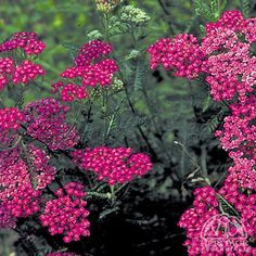 Achillea millefolium 'Cerise Queen'  Yarrow is an easy perennial, growing in nearly any sunny situation, even where there is poor soil. Plants form low mounds of fragrant ferny foliage, with clusters of flowers appearing on upright stems in early summer.