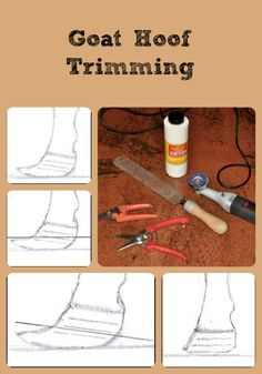Describes how to do goat hoof trimming properly and the equipment needed to do it.