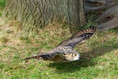 CAUTION: Low Flying Eagle Owl | Flickr - Photo Sharing!