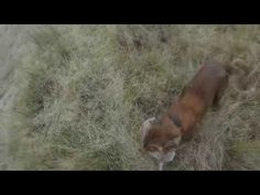 Spaniels Hunting Fur and Feather in New Zealand part 4 - YouTube