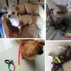 Regulowany Cat Pet Collar Uprząż Leash Set Dla Kotów Pies Małe Zwierzęta Psy Smycz Breakaway Rainbow Nylon Królik Katten Halsband