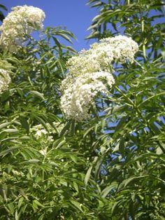 Organic Elder Flower   Sambucus canadensis plant - herbcottage