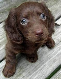 Chocolate long haired Dachshund