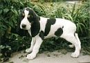 berner laufhund photo   Berner Laufhund (Courant bernois; Bernese Hound; Sabueso Bernés)