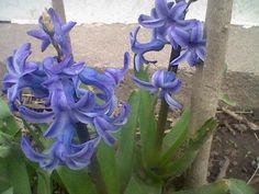 Hyacinths in back flowerbed